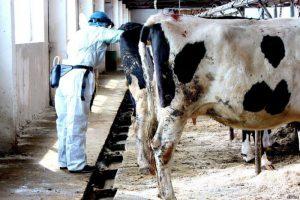 Как происходит отёл у коров?